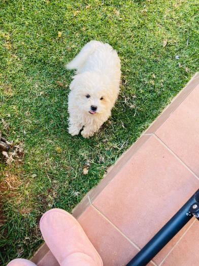 Maltese puppy 4months old in Pretoria North, Gauteng