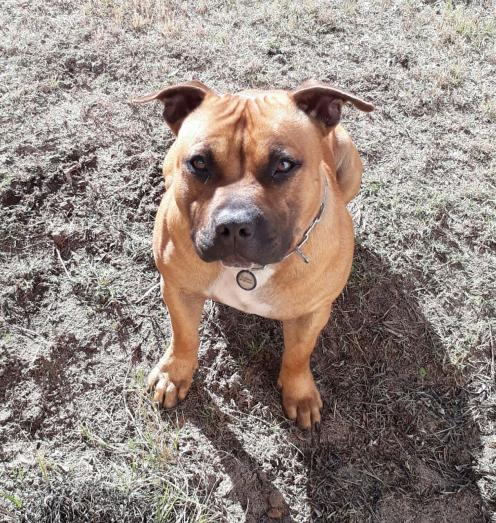 Staffie pups for sale in Panorama, Cape Town in Northern Suburbs, Western Cape