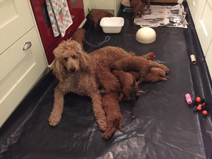 Standard Poodle Puppies For Sale in Cape Town, Western Cape