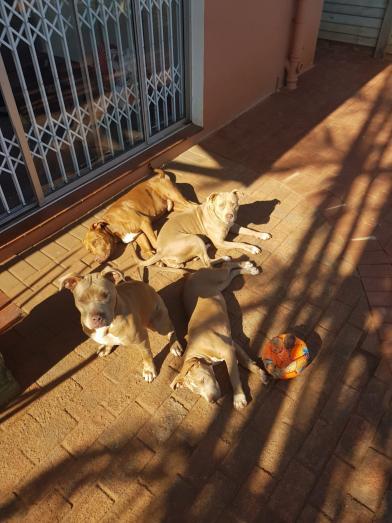 Purebred Pitbull Puppies x bully in Durban, KwaZulu-Natal