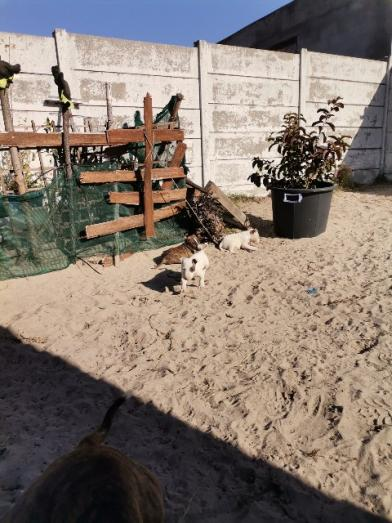 Bull terrier pups for sale in Mitchells Plain, Western Cape