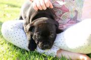 2 Male Black staffie Puppies for sale in Franschhoek Western Cape