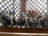 Amazing Maine Coon Kittens