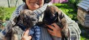 Brindle Puppies for sale