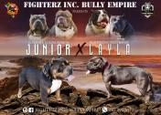 Pedigree American Bully puppies for sale