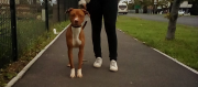 Pitbull pup for sale URGENT PRICE DROP