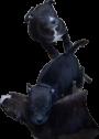 Pitbull puppies to good homes