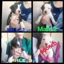 Registered Pitbull Puppies