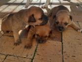Staffie pups for sale in Panorama, Cape Town