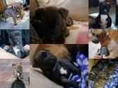 staffie pups forsale