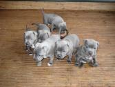 Staffordshire Puppies For Sale
