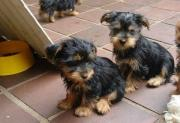 Sweet Yorkie Puppies For Sale