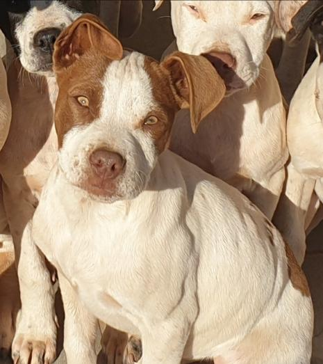 4 month old pitbull puppies in Roodepoort, Gauteng