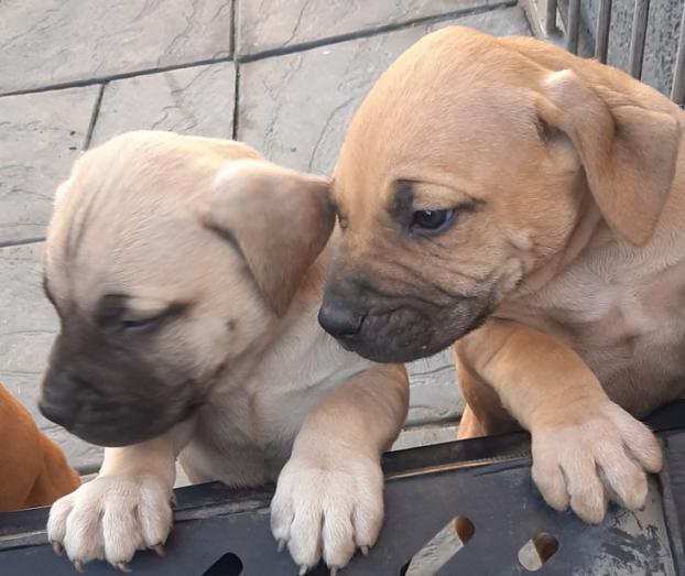 Boerboel Puppies in Durban, KwaZulu-Natal
