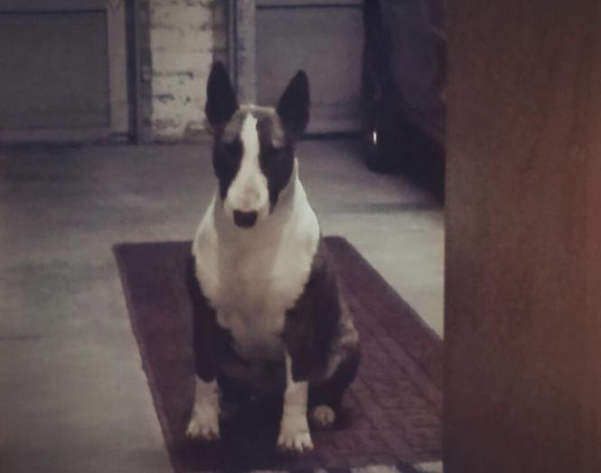 Bull Terrier looking for a loving home in Kuils River, Western Cape
