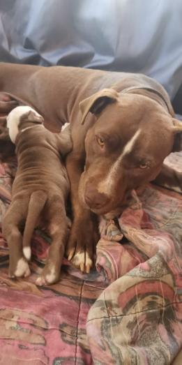 Pitbull Puppies in Benoni, Gauteng