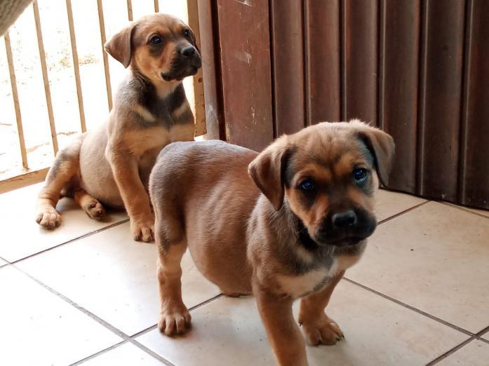 Rottweiler cross Boerboer puppies in Pretoria, Gauteng