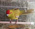 Kakariki Parakeets