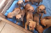 Boerboel X Ridgeback Puppies