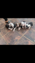 Pitbull puppies fo sale