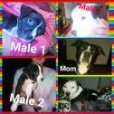 Pure Bred Pitbull puppies