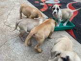 Pure Breed Boerboel Puppies available
