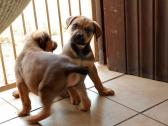 Rottweiler cross Boerboer puppies