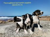 thoroughbred bull terrier puppies