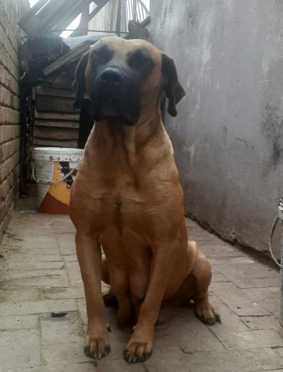 Boerboel Dogs for sale in Pretoria East, Gauteng