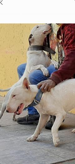 Bull terrier female in Roodepoort, Gauteng