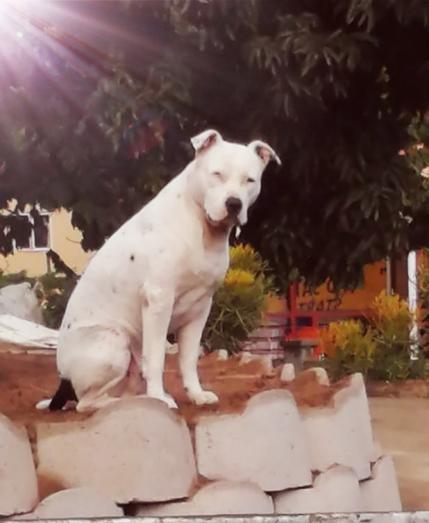 Pit bull puppies in Durban, KwaZulu-Natal