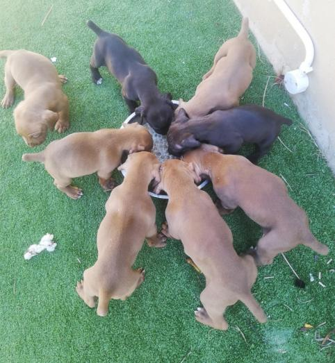 Plaas honde for sale. Large breed. Very family protective. in Eerste River, Western Cape