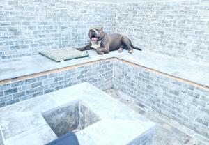 Registered American Bully Puppies For Sale