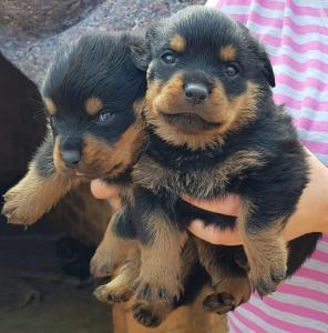 rottweiler puppies available 10 weeks old