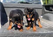 Pretty Rottweiler puppies