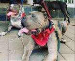 Blue Pitbull Puppies for Sale