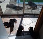 Healthy Rottweiler puppies