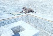 Stunning American Bully Puppies Available