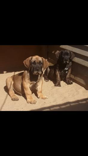 Purebred boerboel pups in Bellair, KwaZulu-Natal