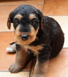 Airedale Terrier Puppies in Polokwane, Limpopo