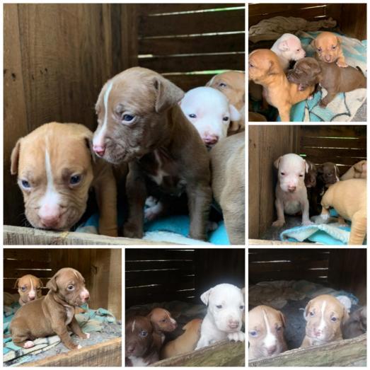 Pitbull Pups for sale in Berea, KwaZulu-Natal