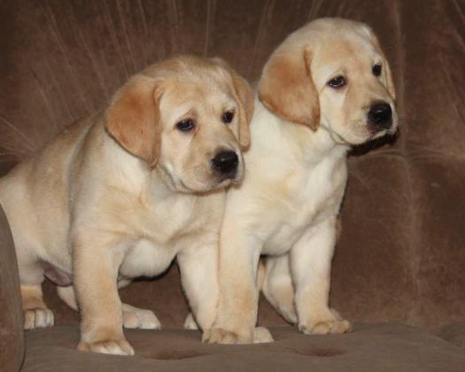 Pure bread Labrador puppies in Maraisburg, Gauteng