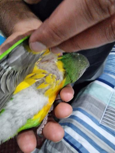 Senegal Parrot for sale hand reared in Lenasia, Gauteng