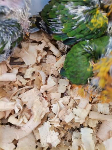 Sun conures babies for sale in Overport, KwaZulu-Natal